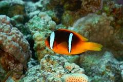 Clownfish Στοκ εικόνες με δικαίωμα ελεύθερης χρήσης