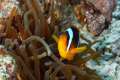 Clownfish royalty-vrije stock fotografie