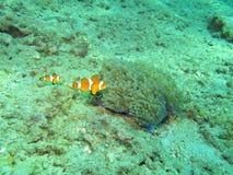 Clownfish Royaltyfria Foton