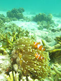 Clownfish Arkivfoto