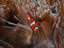 Clownfish Стоковые Изображения