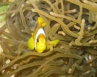 Clownfish Στοκ φωτογραφίες με δικαίωμα ελεύθερης χρήσης