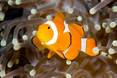 Clownfish. A clown anemonefish swimming in the tentacles of its host anemone, underwater Royalty Free Stock Image
