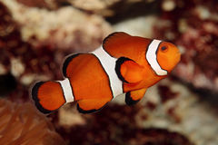 Clownfish. With reef in the background Royalty Free Stock Images