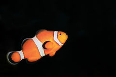 Clownfish Stockfotos