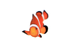 Clownfish Fotografia de Stock Royalty Free