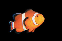 Clownfish Imágenes de archivo libres de regalías