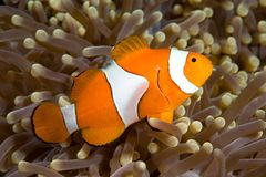 Clownfish. A clown anemonefish swimming in the tentacles of its anemone, underwater Stock Images