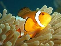 Clownfish Стоковое Фото