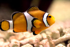 Clownfish Foto de Stock Royalty Free