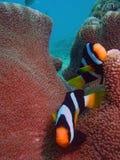 Clownfish royalty-vrije stock afbeeldingen