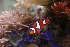 Clownfish Obrazy Stock