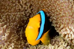 Clownfish. A beautiful orange fin clownfish sheltering among the tenacles of its anemone. This fish has its mouth open displaying the teeth Royalty Free Stock Image