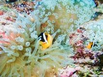 Clownfish Lizenzfreie Stockfotos