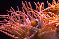 Clownfish Stockbild