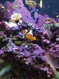 Clownfish Imagen de archivo libre de regalías