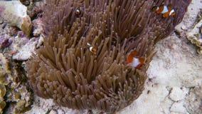 Clownfish video estoque