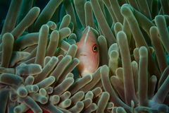 Clownfish Fotografia Stock Libera da Diritti