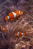 Clownfish. This is anemonefish swimming in its anemone, underwater Stock Photography