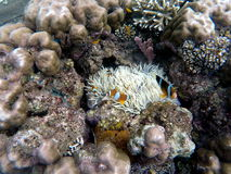 Clownfish in actinia plant inside a round coral. Orange and white striped clown fish royalty free stock images