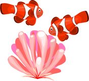 Clownfish and actinium Royalty Free Stock Images