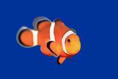 Clownfish. A clownfish against blue background Royalty Free Stock Photo