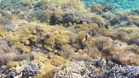 Clownfish aggressively defending their anemone. By attacking the camera in clear water in Indian ocean, Indonesia, Bali, Nusa Penida Island. Underwater Wildlife stock video footage