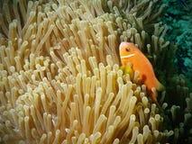 Clownfish alaranjado escondido no anemone Fotografia de Stock