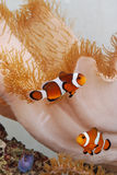 Clownfish amongst reef Royalty Free Stock Image