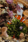 Clownfish amongst reef  with peppermint shrimp Stock Image