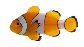 Clownfish, Amphiprion ocellaris. In front of white background royalty free stock photography