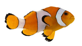 Clownfish, Amphiprion ocellaris. In front of white background stock images