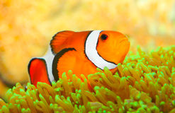 The Clownfish (Amphiprion ocellaris). Royalty Free Stock Photography