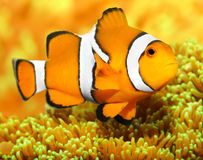 The Clownfish (Amphiprion ocellaris). Stock Photos