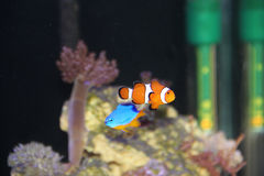 Clownfish Amphiprion Ocellaris and Damsel Chrysiptera Hemicyanea. In a reef tank Royalty Free Stock Images