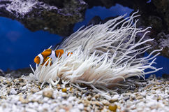 Clownfish (Amphiprion ocellaris) hiding in  Sebae anemone (Heteractis crispa). Detailed picture of  Clownfish ( Amphiprion ocellaris &# Stock Image