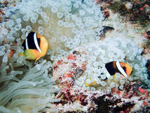 Clownfish, Amphiprion ocellaris. Two clownfish in their host anemone Stock Photography