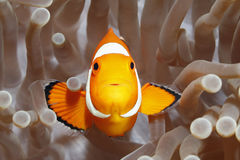Clownfish, Amphiprion-percula, in Zeeanemoon Royalty-vrije Stock Afbeeldingen