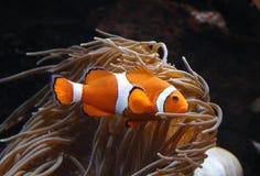 Clownfish Amphiprion SP Στοκ εικόνα με δικαίωμα ελεύθερης χρήσης