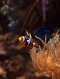 Clownfish Amphiprioninae και βασιλική μπλε γεύση Στοκ Εικόνες