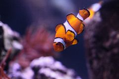 Clownfish, Amphiprioninae, σε ένα ενυδρείο θαλασσίων ψαριών και σκοπέλων Στοκ Φωτογραφίες