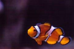 Clownfish, Amphiprioninae, σε ένα ενυδρείο θαλασσίων ψαριών και σκοπέλων Στοκ φωτογραφία με δικαίωμα ελεύθερης χρήσης