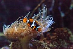 Clownfish, Amphiprioninae, σε ένα θαλάσσιο ψάρι Στοκ Φωτογραφία