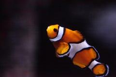 Clownfish, Amphiprioninae, σε ένα θαλάσσιο ψάρι Στοκ φωτογραφίες με δικαίωμα ελεύθερης χρήσης