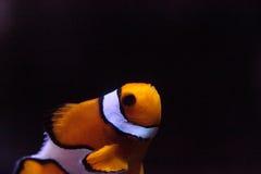 Clownfish, Amphiprioninae, σε ένα θαλάσσιο ψάρι Στοκ Εικόνες