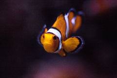 Clownfish, Amphiprioninae, σε ένα θαλάσσιο ψάρι Στοκ φωτογραφία με δικαίωμα ελεύθερης χρήσης