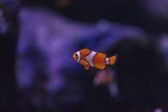 Clownfish, Amphiprioninae Στοκ Εικόνες
