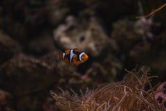 Clownfish, Amphiprioninae Στοκ φωτογραφία με δικαίωμα ελεύθερης χρήσης