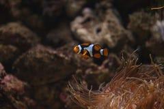 Clownfish, Amphiprioninae Στοκ εικόνες με δικαίωμα ελεύθερης χρήσης