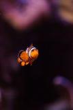 Clownfish, Amphiprioninae Στοκ Εικόνα